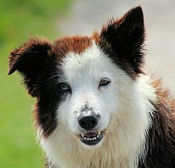 Border Collie liver portrait