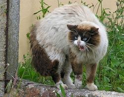 Gato enervado_pola_presencia_dun_can