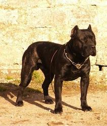 AA www.Dogo-Canario.biz1