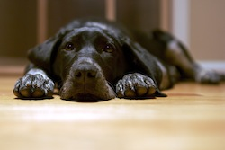 Black dog_lying_on_the_floor