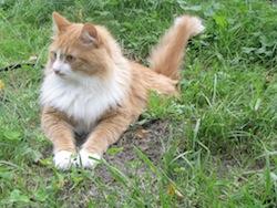 Siberian cat_-_Tofik
