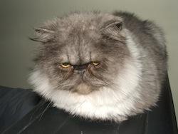 Gatto persiano_Ettore-2