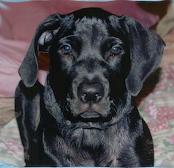 Black Labrador_Retriever
