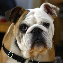 Clyde The_Bulldog