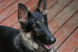 German Shepherd_Dog_Casey