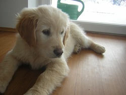 Golden Retriever_Puppy_12weeks