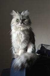 Doll face_silver_Persian_2