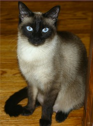 Niobe050905-Siamese Cat