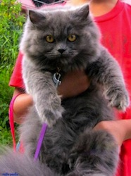 Azuleyka A_Blue_Persian_Cat