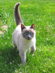Chat-siamois-dorothee-taverne