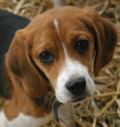 Beagle puppy_portrait