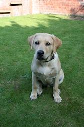 Labrador Chez_in_Garden_2264742765