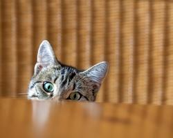 carattere-gatto-s
