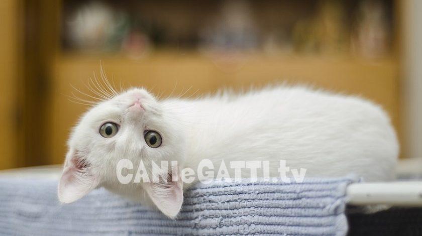 gatti a pelo corto