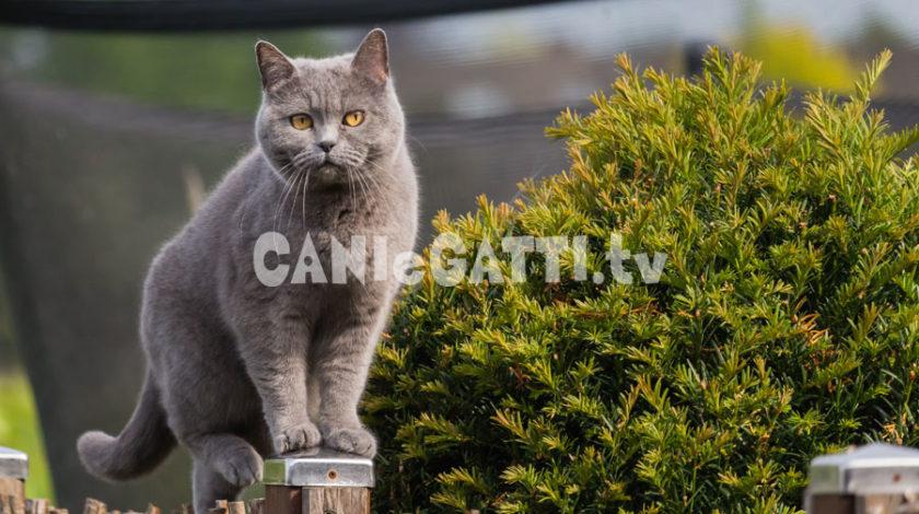 british shorthair, razze gatti, cani e gatti tv