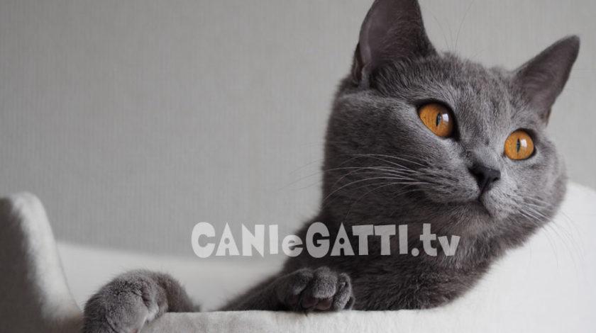 gatto certosino, cani e gatti